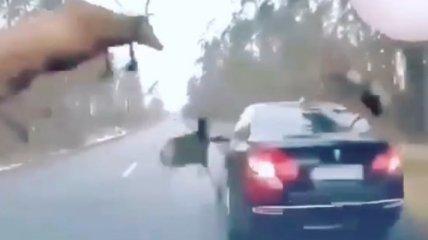 Олени, перебегая дорогу, чуть не затоптали машину - момент наскока попал на видео