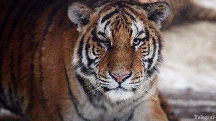 В Уссурийске пытались продать шкуру амурского тигра