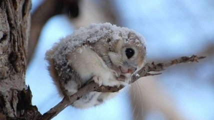 Белка-летяга - самый милый зверек на земле (Фото)