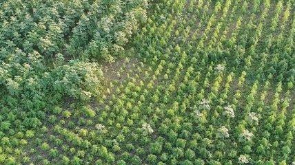 У Херсонській області виявили конопляне поле вартістю 300 млн грн: як воно виглядає (фото)