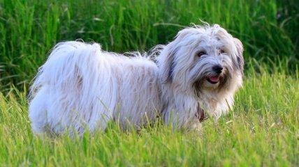 Гипоаллергенные собаки - идеальное решение для любителей собак с аллергией (Фото)