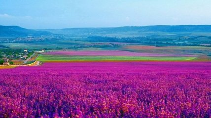 Фиолетовые поля: зрелище, которое приводит в полный восторг (Фото)