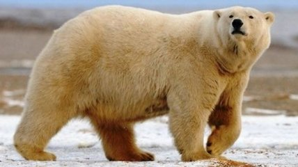 Вся красота и величие белых медведей (Фото)