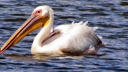 Пеликан с ножом в шее поверг австралийцев в шок (Видео)