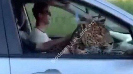 """""""Интересная кошечка"""": в Одессе заметили катающегося в авто леопарда (видео)"""