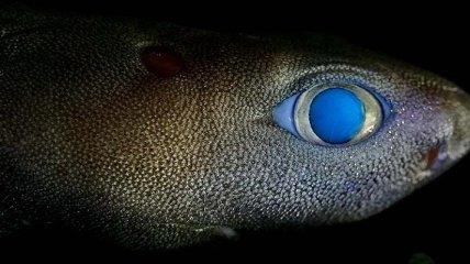 """Впервые в истории: в """"сумеречной зоне"""" океана сфотографировали светящуюся акулу"""