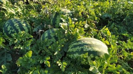 На Херсонщине фермеры массово выбрасывают арбузы, которые не смогли продать