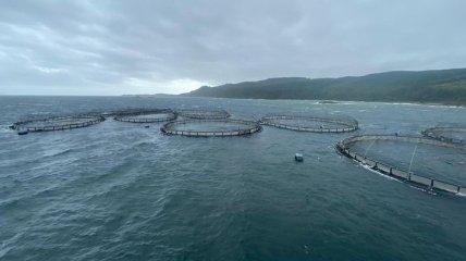 Шторм в Шотландии: 50 тысяч норвежских лососей сбежали из рыбной фермы и это обеспокоило экологов
