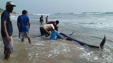 Сотня черных дельфинов выбросилась на берег в Шри-Ланке (Видео)