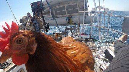 Смешная курица путешествует по всему миру со своим другом-человеком