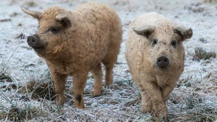 Смешные свиньи, которые думают, что они собаки