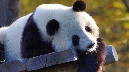 Быстрее урагана: в Китае панды спаслись от землетрясения (Видео)