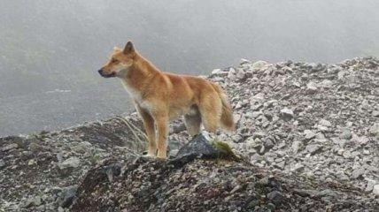 В Новой Гвинее нашли диких поющих собак: считалось, что они вымерли 50 лет назад