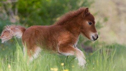 Крошечные лошадки, которые похожи на игрушки (Фото)