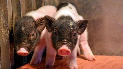 В Китае родились первые свиньи, чьи органы можно пересаживать людям