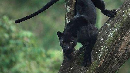 Гордые и хищные: величественные кошки на снимках индийского фотографа (Фото)