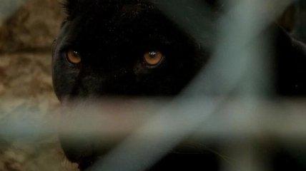 Выжил благодаря чуду: стали известны подробности нападения пантеры на мужчину под Полтавой