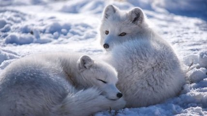 Очаровательные лисы,  которые в зимнюю пору краше и пушистее (Фото)