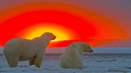 Белые медведи и великолепный закат на Аляске (Фото)