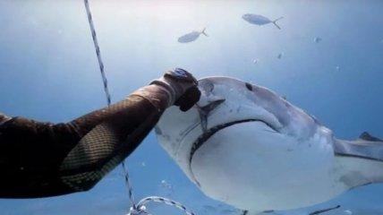 Дайвер покормил с рук нежную тигровую акулу: зрелищное видео