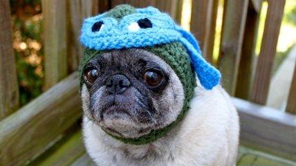 Грустные мопсы в забавных шапочках (Фото)