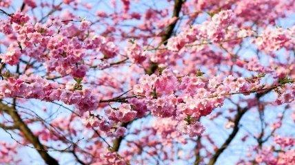 Японці ігнорують карантин і любуються цвітінням сакури