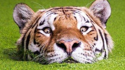 Смешной тигр, плавающий в озере с водорослями, стал звездой интернета