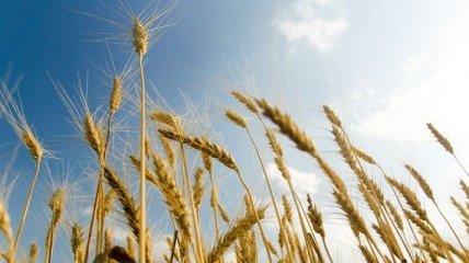 Мораторий на экспорт пшеницы больно ударит по фермерам