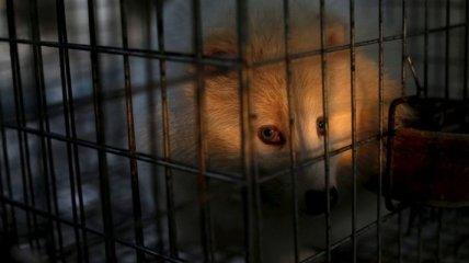Ком в горле: жестокая реальность меховой индустрии Китая (Фото)