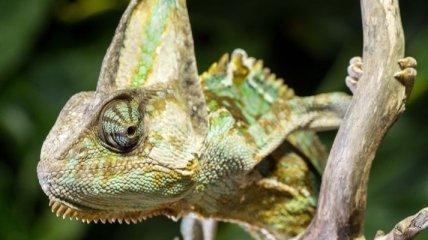 Нейробиологи: Хамелеоны управляют глазами по отдельности