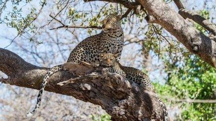 Великолепные снимки жизни африканских леопардов (Фото)