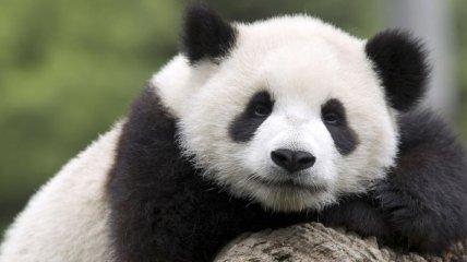 Смешная панда притворилась беременной, чтобы получать внимания