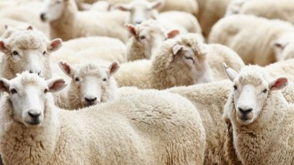 Французских овец снабдят радиопередатчиками