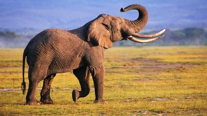 Слон в природе.