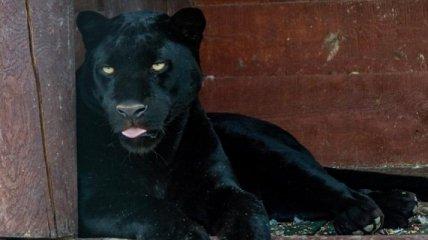 """""""Пантера сидела у мужчины на голове"""": в зоопарке под Полтавой произошло ЧП"""