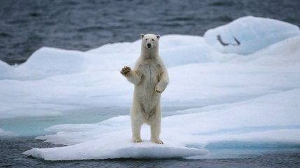 Более двухсот белых медведей скопились на побережье острова Врангеля