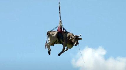 В Альпах корова політала над горами (Відео)