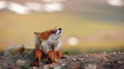 Невероятные портреты диких лис от горного инженера из Чукотки (Фото)