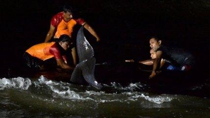 В Шри-Ланке добровольцы и военные спасли более сотни выброшенных на побережье черных дельфинов